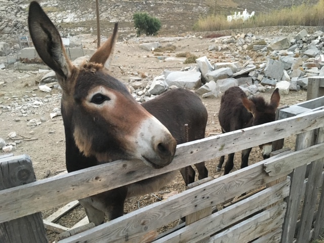 Donkey on Paros Island Greece